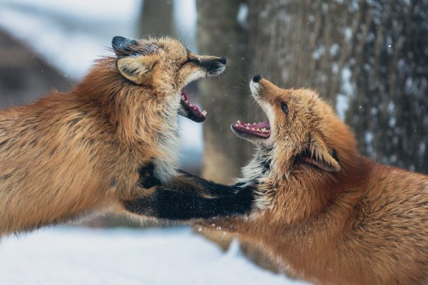 Two foxes fighting with their mouths open